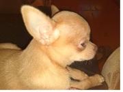 Чихуахуа щенки продам. Комнатные собаки.