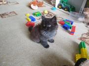 Кошечка от персидской кошки (2 месяца)